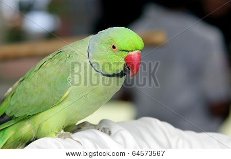 A beautiful green parrot