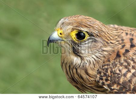 A falcon with beautiful eyes