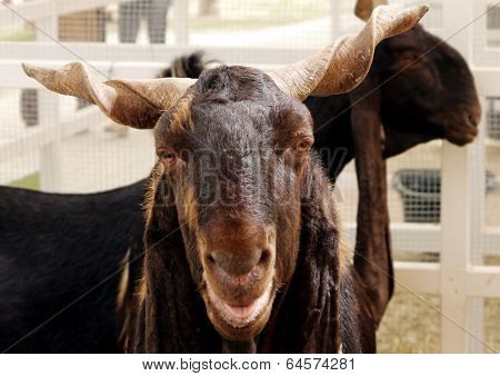 closeup of Arabian goat