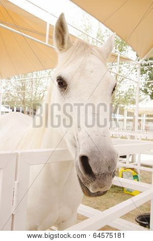 Closeup of a beautiful white arabian horse