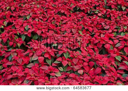 Colorful Poinsettia flower (christmas star)