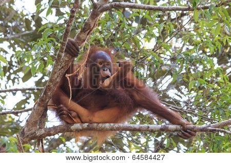 Baby Orangutang sucks his thumb