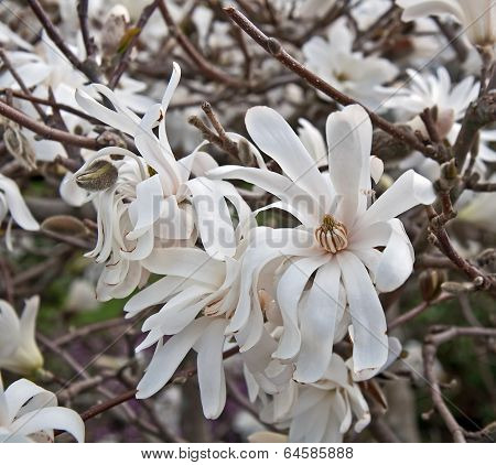 White Star Magnolia Tree In Bloom