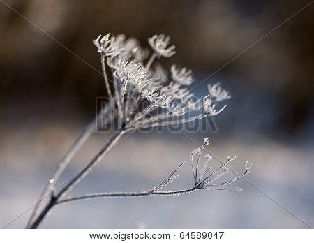 Frozen Weed