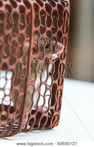 A Rat In A Rusty Metal Trap