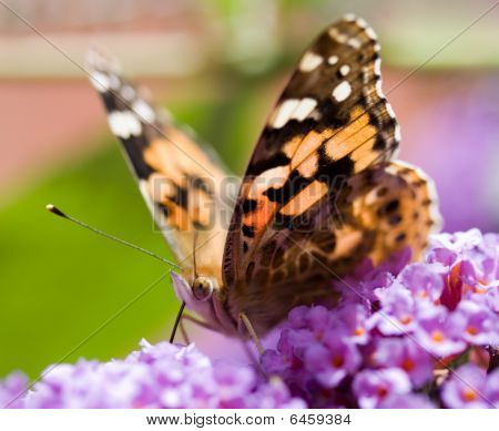 Butterfly on a budlia