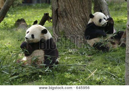 Pandas Gigantes de alimentación