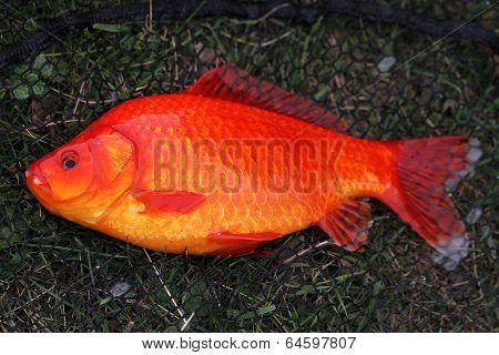Large Goldfish.