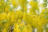 stock photo of vishu  - Cassia fistula flower blooming on tree - JPG