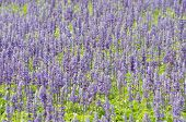 stock photo of blue-salvia  - Salvia pratensis blooming in garden - JPG