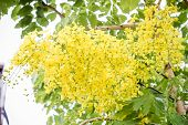 picture of cassia  - Yellow flower of Golden shower  - JPG