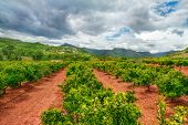 stock photo of valencia-orange  - Orange gardens in Valencia region - JPG