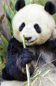 stock photo of terrestrial animal  - A cute adorable lazy adult giant Panda bear eating bamboo - JPG