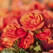 image of begonias  - A variety of  begonias with abundant orange flowers grown in planters and window boxes - JPG