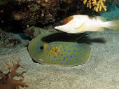 image of grouper  - A blacktip grouper protecting a blue spotted stingray - JPG