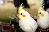 image of cockatiel  - Cockatiel Are The Beautiful Smallest Birds Of Cockatoo Family - JPG