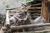 foto of donkey  - Grey donkey in tis enclosure with rope around the head as halter - JPG