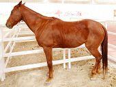 pic of arabian horses  - Arabian Horse Is A Breed Of Horse That Originated On The Arabian Peninsula - JPG