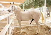 pic of arabian horse  - Arabian Horse Is A Breed Of Horse That Originated On The Arabian Peninsula - JPG
