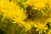 stock photo of lightning bugs  - Lightning Bug crawling on a yellow flower.