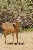pic of blacktail  - Californian Black - JPG