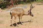 stock photo of blacktail  - Californian Black - JPG