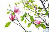 image of japanese magnolia  - Magnolia blooming flowers on white - JPG
