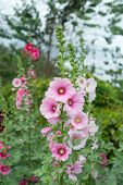 stock photo of hollyhock  - A garden with vibrant colorful hollyhock flowers - JPG