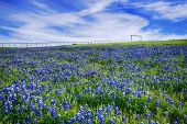 picture of bluebonnets  - Texas Bluebonnet field blooming in the spring bright blue sky with white clouds - JPG