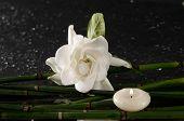 picture of gardenia  - gardenia flower with thin bamboo grove on wet background - JPG