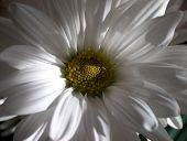 Soft White Petals poster