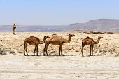picture of dromedaries  - Dromedaries on the beach of Wadi Darbat Taqah Dhofar region  - JPG