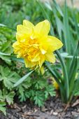 stock photo of dick  - Yellow narcissus flower Dick Wilden blossoms in spring - JPG