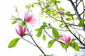foto of japanese magnolia  - Magnolia blooming flowers on white - JPG
