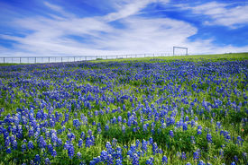 stock photo of bluebonnets  - Texas Bluebonnet field blooming in the spring bright blue sky with white clouds - JPG