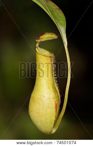 The Nepenthes Or Monkey Cup Plant Also Known As Meat-eating Plant