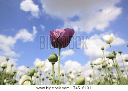 Purple Opium Poppy Flower