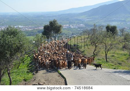 Goats being led to pasture