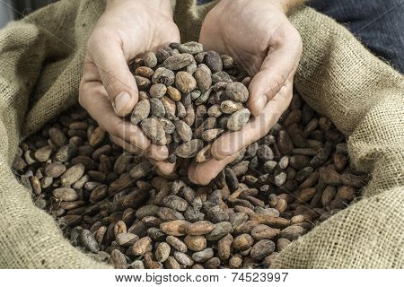 Hand Holds Cocoa Beans