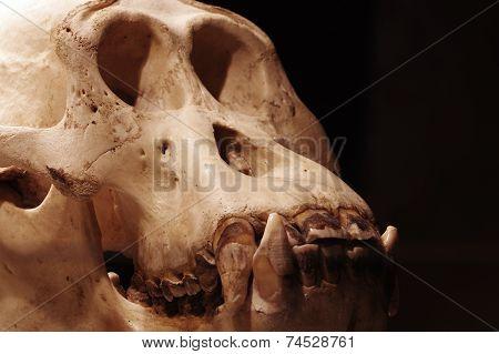 Orangutan skull 2