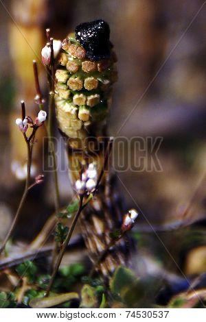 Equisetum arvense - field horsetail