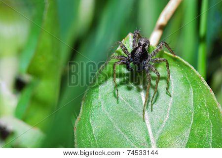 Brown Spider On Leaf
