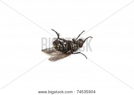 Fly Isolated On White. Macro Shot Of A Dead Housefly
