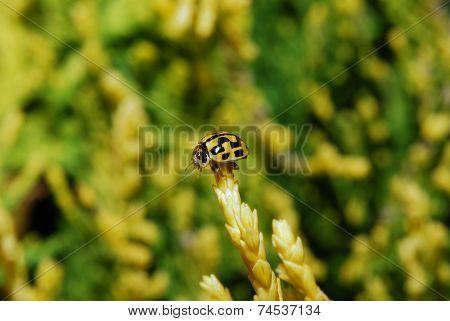 Black And Yellow Ladybird