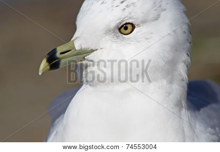 Ring Billed Seagull