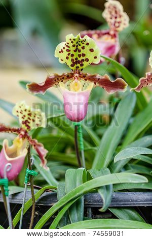Close Up Of Lady Slipper Orchid Paphiopedilum
