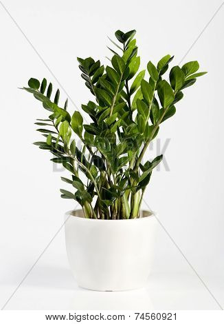 Cultivated Zamioculcas Houseplant