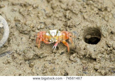 A Young Fiddler Crab