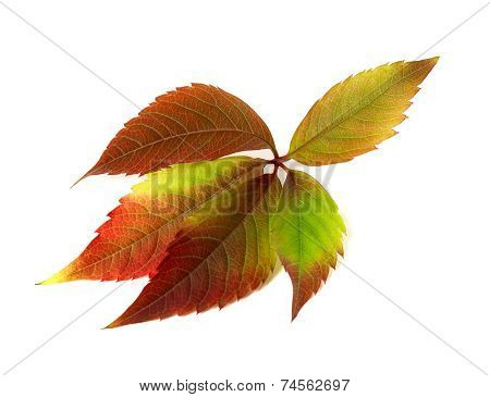 Autumn Multicolor Grapes Leaf. Parthenocissus Quinquefolia Foliage