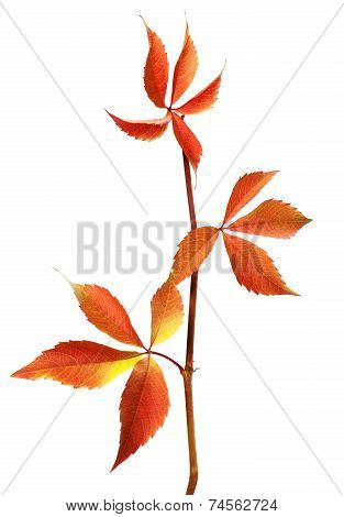 Branch Of Autumn Grapes Leaves (parthenocissus Quinquefolia Foliage)